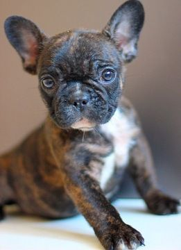 French Bulldog Puppy For Sale In West Palm Beach Fl Adn 49063 On