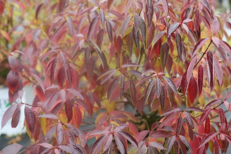 Red Rover silky dogwood