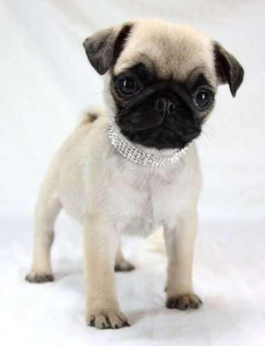 Pug Puppy Princess
