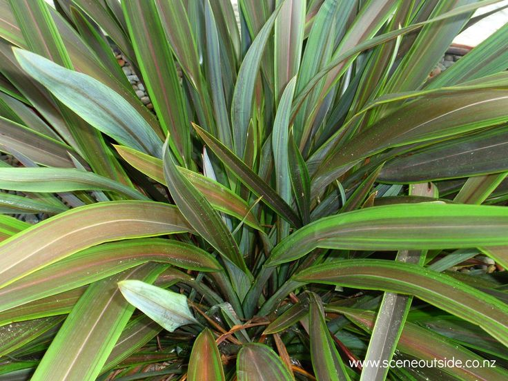Phormium 'Chocomint', a flax with chocolate brown leaves and bright green leaf margins. Described and illustrated in the plant guide of my website http://www.sceneoutside.co.nz