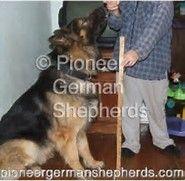 Image result for Shiloh Shepherd Breeders Kentucky