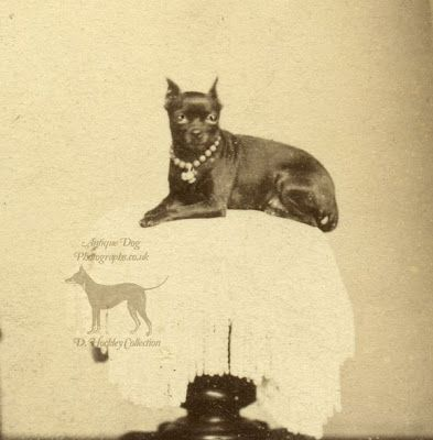 The Antique Dog Photograph Gallery: Black and Tan Terrier in Camberwell