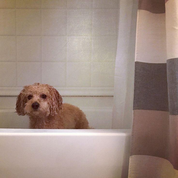 Bath time for little girl #toastergirl #cavapoo