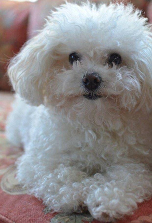 Pin By Alex Faullix On ส ตว Bichon Frise Puppy Bichon Dog Bichon Frise Dogs