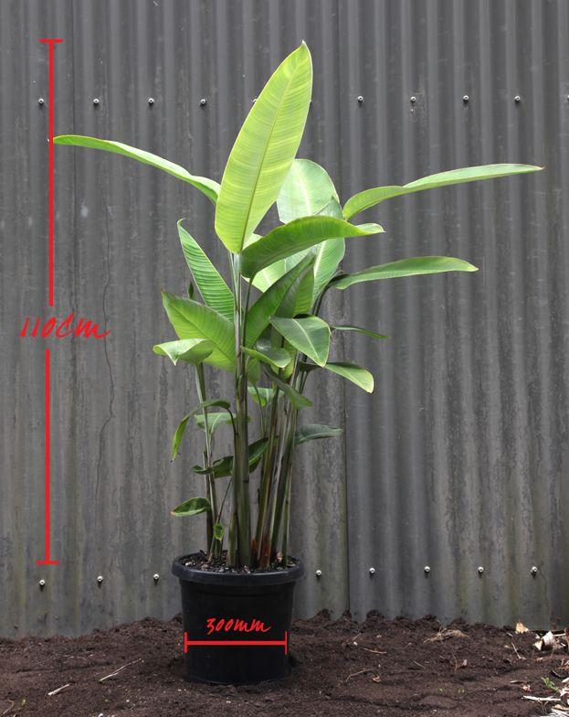 Heliconia lush large leaf tropical plants palmland