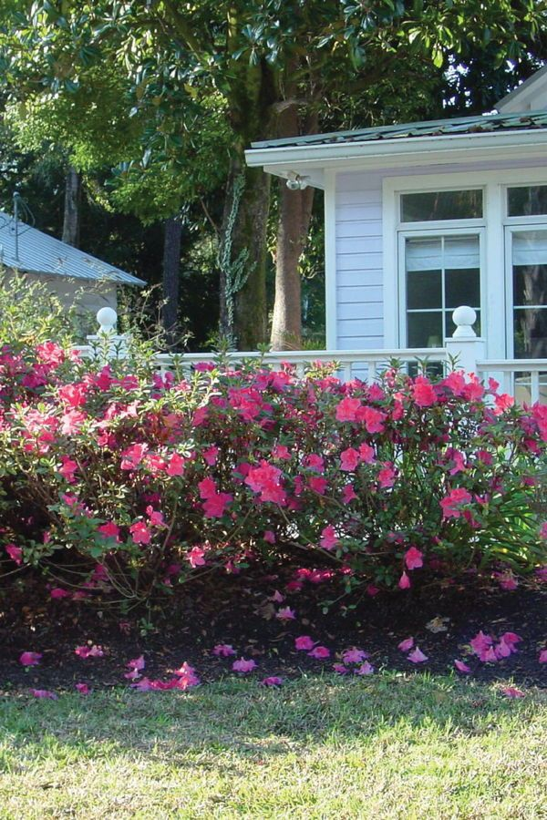 Create Enticing Garden Settings With Intermediate Encore Azaleas Azaleas Cottage Garden Garden Inspiration