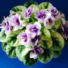 African Violet Jolly Andrea