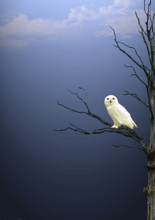 White owl, against the sky. Artist unknown. #owls #animals