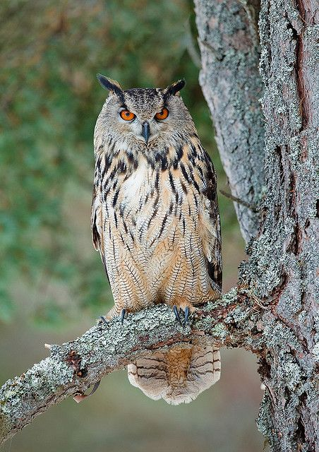 The Eurasian Eagle-Owl (Bubo bubo) is a species of eagle owl resident in much of Eurasia✔zϮ