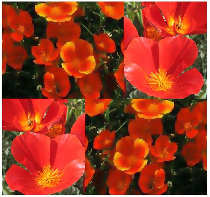 MIKADO RED - CALIFORNIA Poppy Flower Seeds - Drought And Hot Climate Areas - Great Cut Flowers by ALLooABOUTooSEEDS on Etsy https://www.etsy.com/listing/174343681/mikado-red-california-poppy-flower-seeds