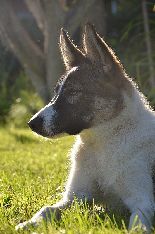 Pin by Dogs on West Siberian Laika | Pinterest