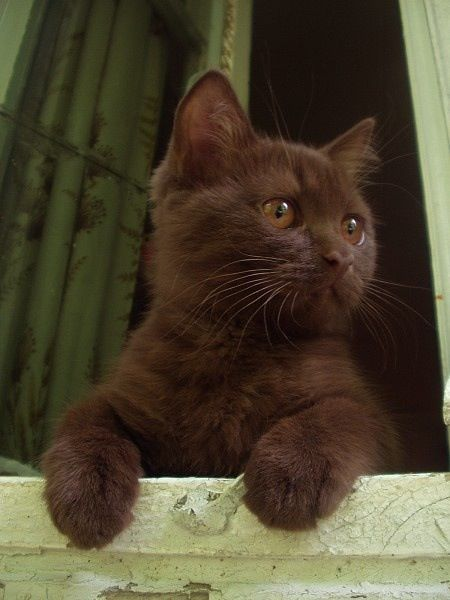 Rare Havana brown cat- a beauty. Chocolate brown.