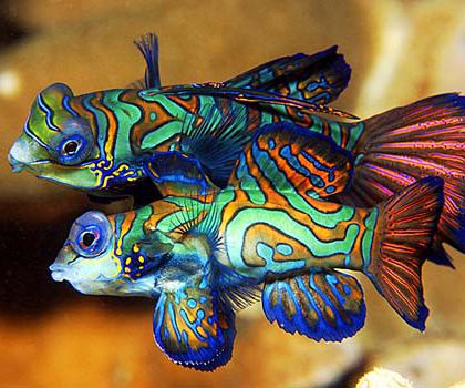 Mandarin Fish.  I fell in love with this fish at the Waco TX Zoo. Makes me want one