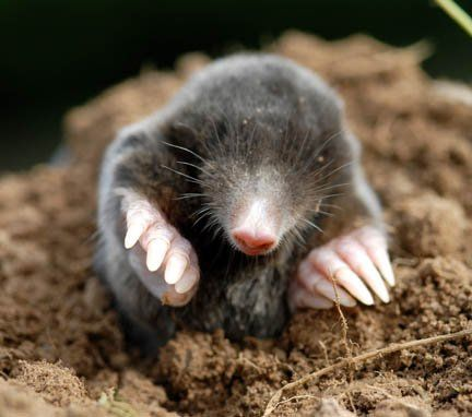 Moles | Copyright David Cole and published with his permission.