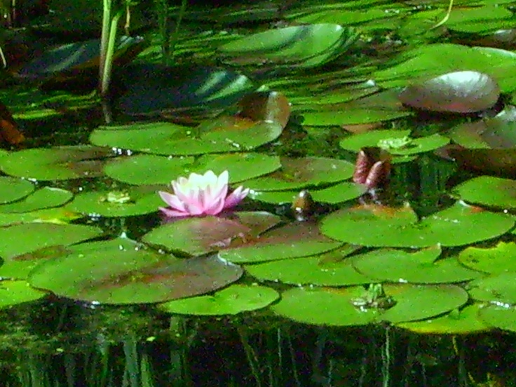 lotus in the thermal-lake by Heviz - with froggy