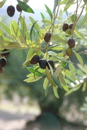 die besten 25 olivenbaum ideen auf pinterest reinigung. Black Bedroom Furniture Sets. Home Design Ideas