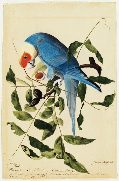 Now that is one gorgeous illustration:(viaSee Audubon's Famous Birds Like Never Before | Wired Science | Wired.com)
