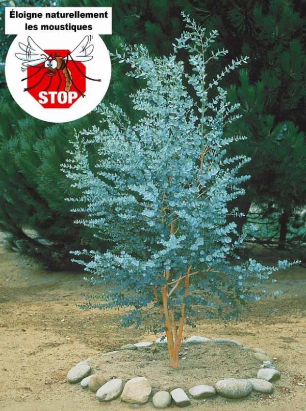 "Eucalyptus gunnii ou ""gommier cidre"""