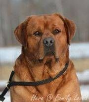 Family Loved Labs -English Labradors for Sale - Fox Red English Lab Puppies