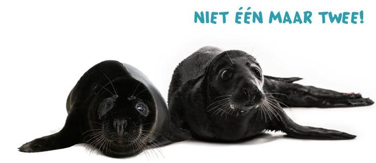 Met de komst van Shaker zijn er nu maar liefst twee zeldzame zwarte zeehondjes te bewonderen in Pieterburen!