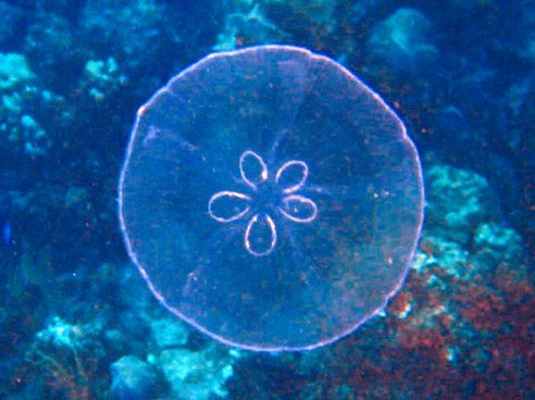 Jellyfish don't have brains  Instead, jellyfish have nerve nets which sense changes in the environment and coordinate the animal's responses...