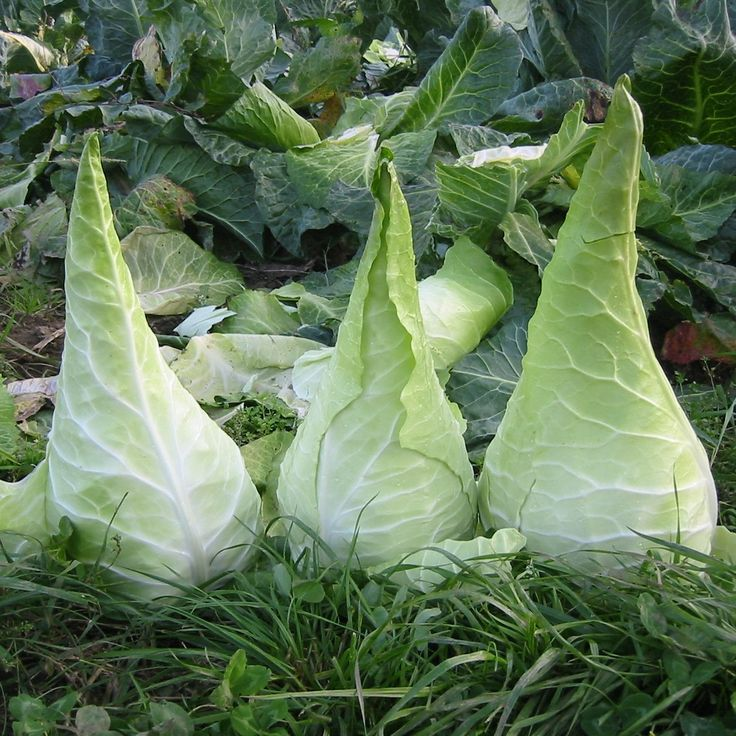 25 Best Ideas About Growing Cabbage On Pinterest: 25+ Best Ideas About Unusual Flowers On Pinterest