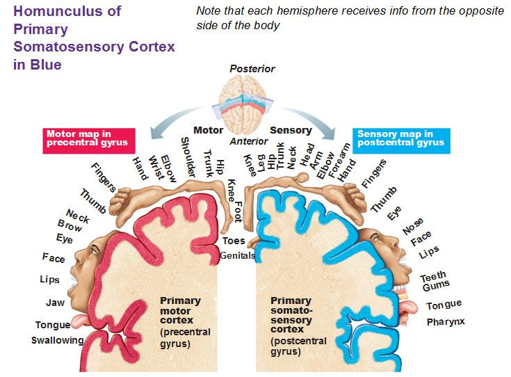 homunculus of primary somatosensory cortex in blue