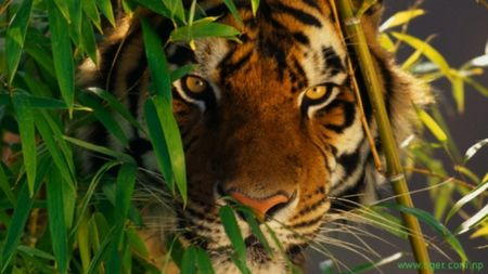Tiger Hiding In Tall Grass  Nature Pinterest Animals