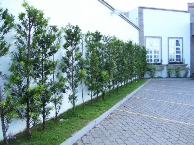 Podocarpo usado para cobrir muros reproduz melhor por - Plantas trepadoras para muros ...