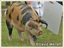 Oxford Sandy and Black Sow Oxford Sandy and Black  are one of the oldest British pig breeds, it has existed for 200-300 years. A traditional farmers and cottagers pig, of the middle part of the country, especially around Oxfordshire. The breed has many good qualities, particularly its excellent temperament and mothering abilities. Prolific and hardy it is particularly suited to outdoor systems, being good foragers and as they are a coloured pig with a good coat they are far less prone to…