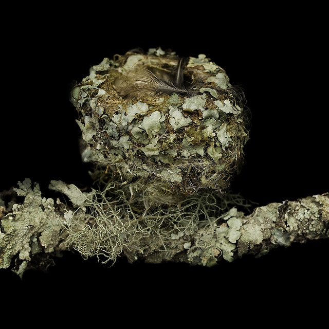 Anna's Hummingbird    Anna's Hummingbird Nest from Tilden Park Oakland California.    About 2 inches across, constructed of of lichen, mosses, feathers, seeds and spiderwebs, on a lichen covered twig.    Photographed with Fugi680 and Leaf 75    All images available as pigment prints on etching paper,  editioned    Contact Sharon Beals    mailto:sbeals@sha...    Donated to the California Academy of Science 2007
