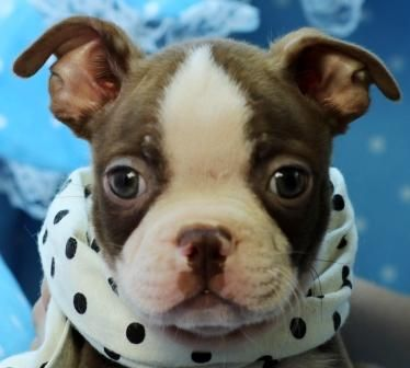 ✯ ✰ ★ Ben The Boston Terrier! ✯ ✰ ★ View All Of My Gorgeous Puppies At www.teacuppuppiesstore.com 954-353-7864  #bostonterrier #boston #terrier #minibostonterrier #miniboston #miniterrier #toy #teacup #micro #pocketbook #teacuppuppies #teacuppuppiesstore #tiny #teacuppuppiesforsale #small #little #florida #miami #fortlauderdale #bocaraton #westpalmbeach #southflorida #miamibeach #cute #adorable #puppy #puppiesforsale #puppylove #unique #mini #miniature