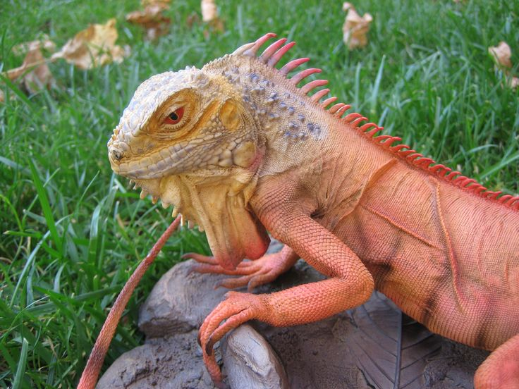 lizard - Yahoo! Search Results