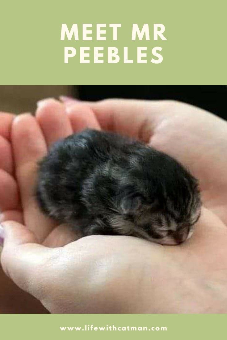 The Smallest Cat In The World Small Cat Peebles Mr