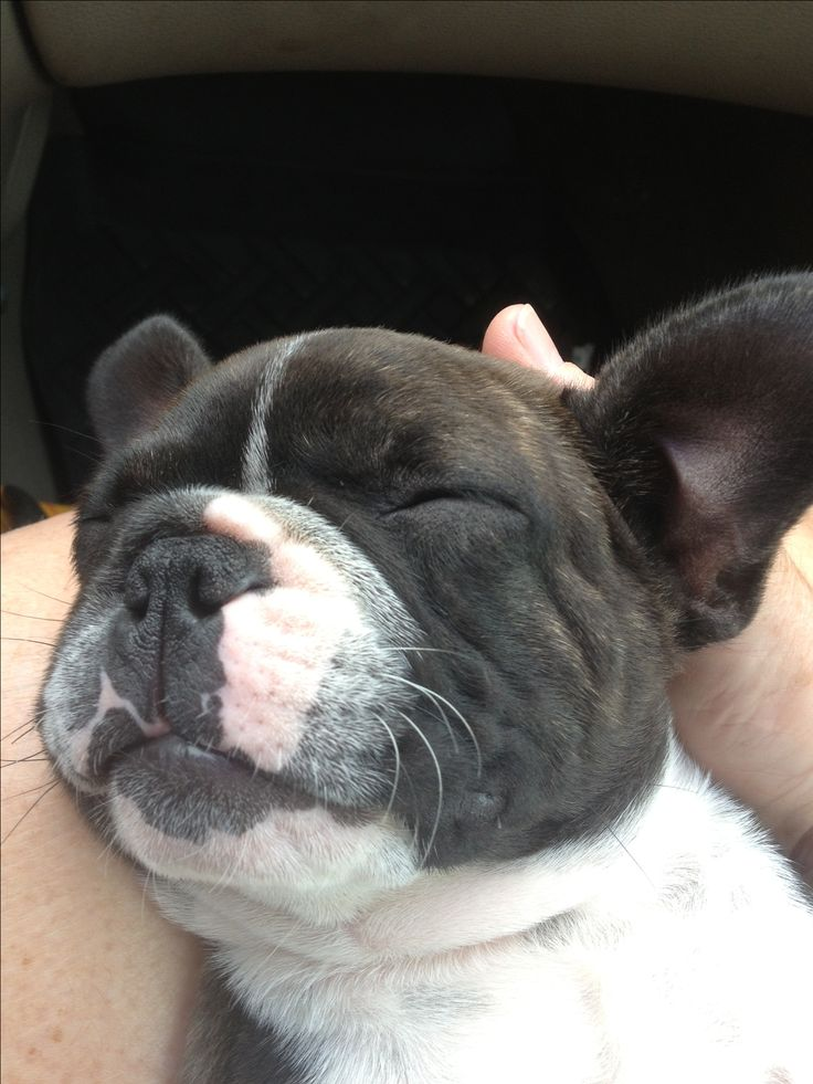 frenchbulldog boston terrier 25 best ideas about terrier mix on pinterest terrier 4750