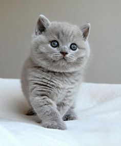 I want one of these...British Shorthair Cat..so pretty! I would so suffer through my allergies for The Cheshire Cat <3