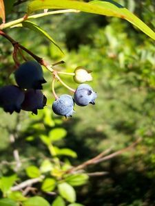 Winter Care for Blueberry Plants
