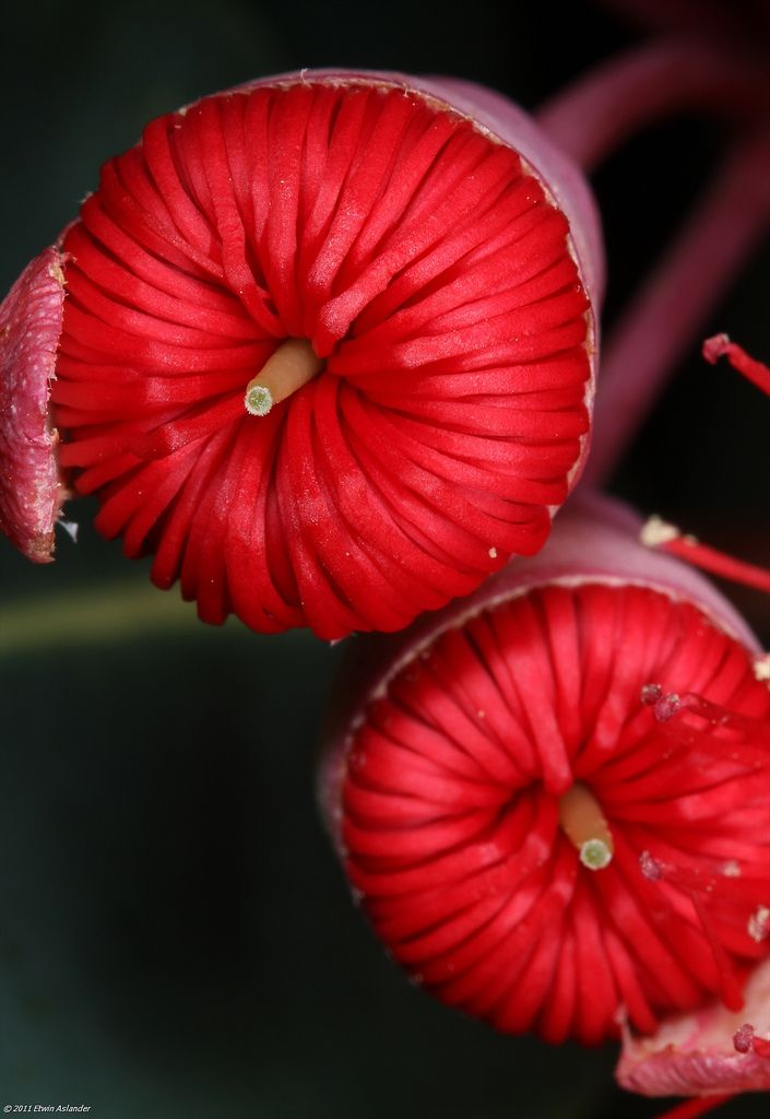 Opening buds of Corymbia ficifolia