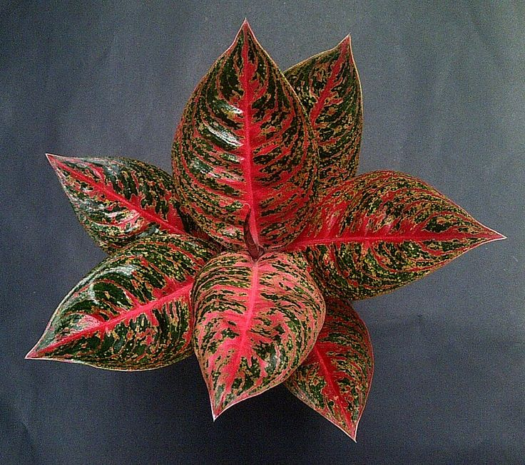 1000+ Images About Aglaonema On Pinterest