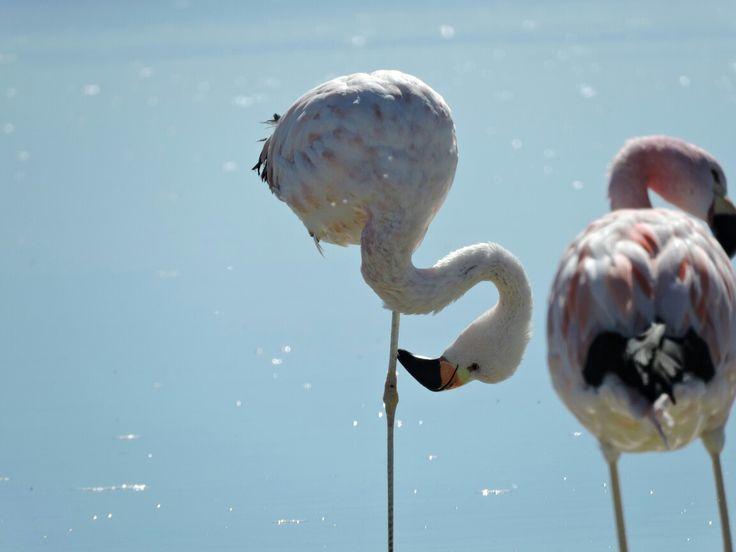 Flamingos at Chaxa lagoon, Atacama saltflat. Chile.