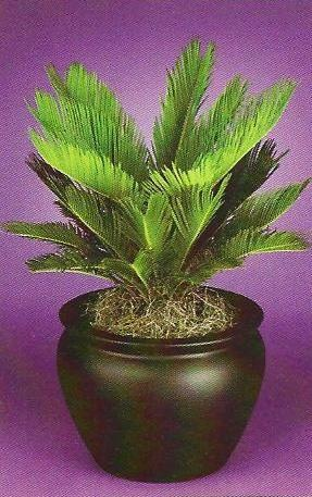 139 Best Sago Palm Garden Images On Pinterest