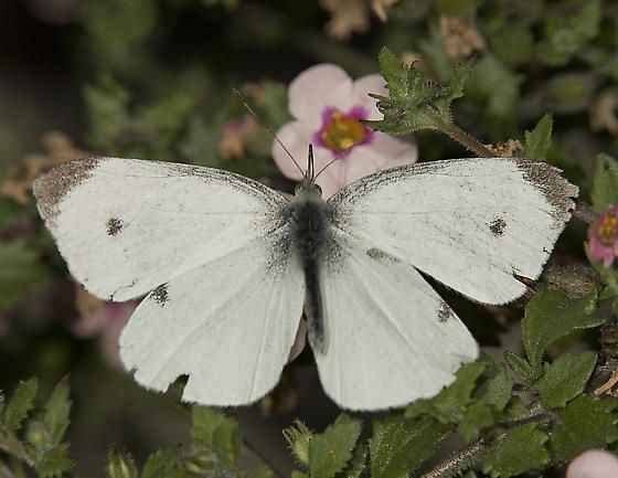 Image result for cabbage white butterfly