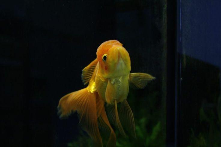 Caresheet: Fancy Goldfish | Carassius auratus – Aquariadise