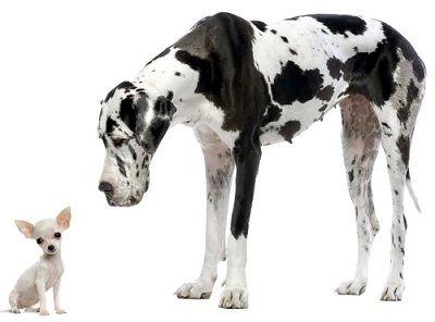Waarom leven kleiner honden langer dan grote honden? lees t artikel op: uitgelatenhond.nl