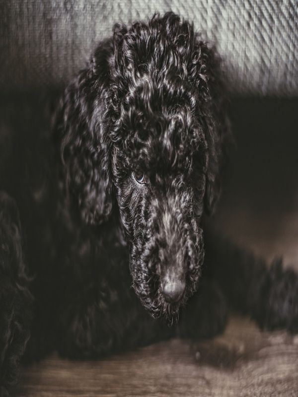 Dog Ear Tips Dry Black Standard Poodle Puppies Dogs