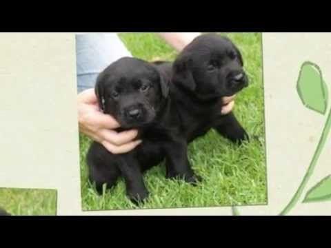 Labrador Retriever Puppies Brisbane Labrador Puppies For