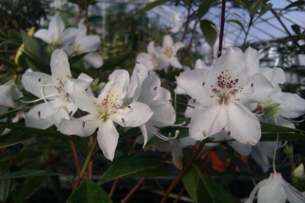 Rhododendron hongkongensis