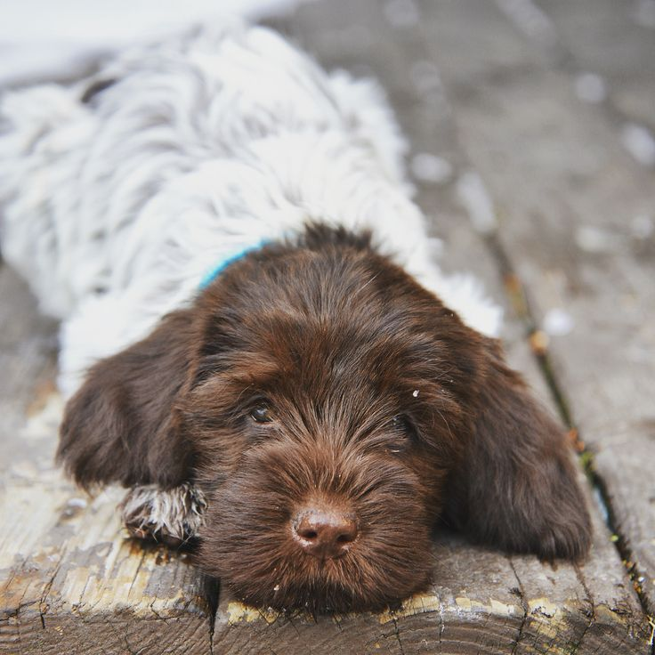 My girl Bowie. 9 weeks.. Wirehaired pointing griffon