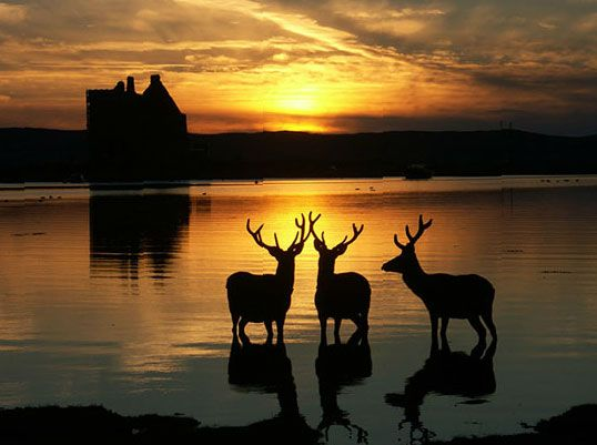 Deer in front of Lochranza Castle on the Isle of Aran, North Ayrshire, Scotland