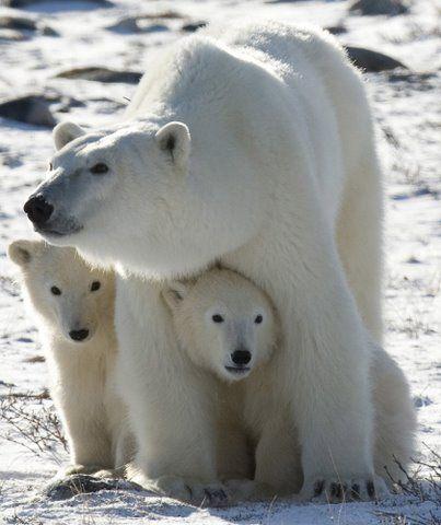 Churchill Manitoba polar bears - someday I WILL go there to see them!!